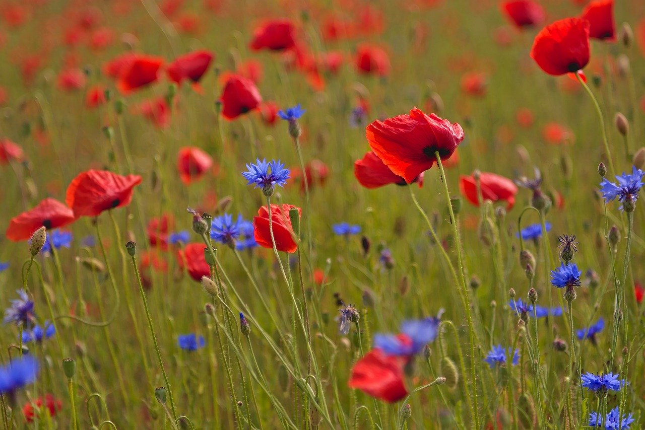 poppies, poppy field, cornflowers
